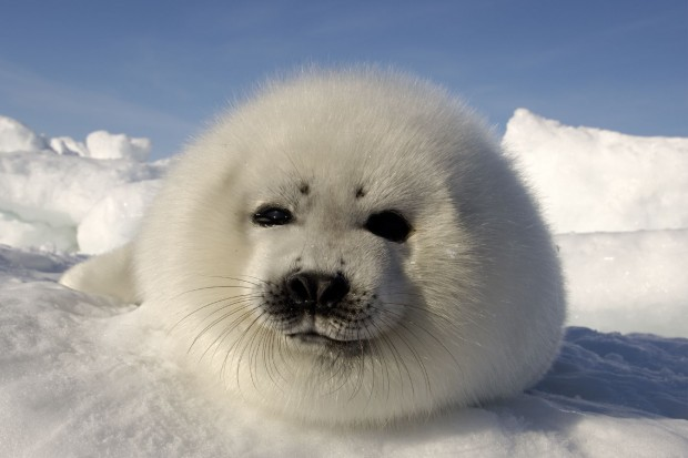 seal-pup-copyright the hsus-brian skerry